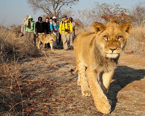 lions-of-zimbabwe