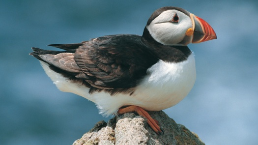 22810003_wildlife_Puffin_16x9
